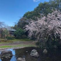庭園(春・しだれ桜)