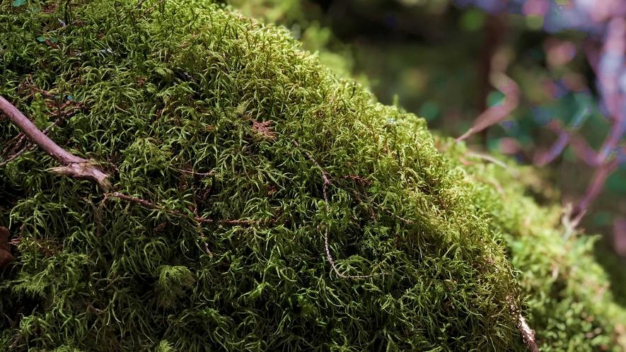 *【苔んぽツアー(要予約)】朝の苔散歩ツアー。希少なチャツボミゴケを育む渋川の龍の尾滝へ