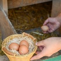 *体験/産みたて卵の収穫(無料)