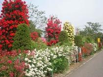 6月はバラの季節