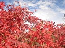 秋空と真っ赤に色づくナナカマド