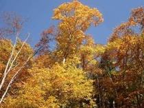 秋晴れの空とブナの木の紅葉.jpg