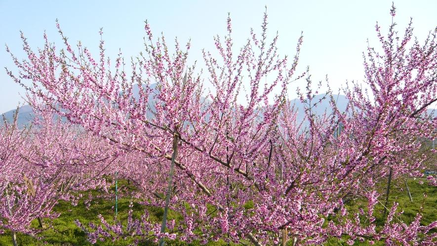 桃の花、リンゴの花、杏の花も綺麗です