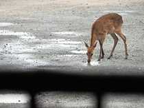 当店裏にいる鹿②