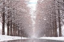 雪のメタセコイア並木も車でスグそば♪