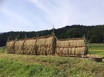 こだわりの自然栽培米はさ干し