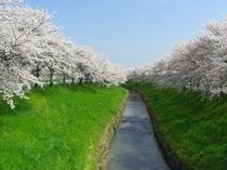 佐保川の桜