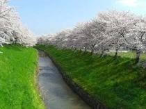佐保川の桜2