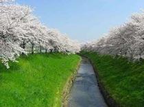 佐保川の桜1