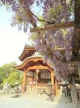 興福寺南円堂の藤