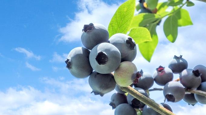 【1泊2食】期間限定★家族みんなでブルーベリー摘み取り体験!摘み取ったブルーベリーはお土産にどうぞ♪