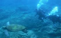 目の前でウミガメが観られることも