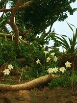 GW前頃に、野生のてっぽゆりが川平一帯に咲くよ!