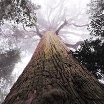 【市房山の千年杉】パワースポットとしても知られる原生林があります。