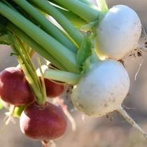 自家菜園で採れたお野菜