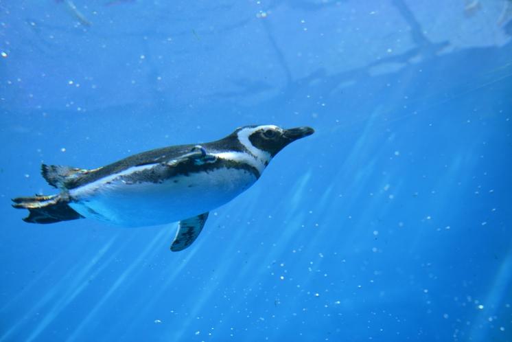 上越市立水族博物館 うみがたり ペンギン