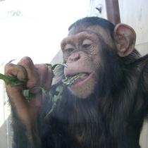 旭山動物園のチンパンジ
