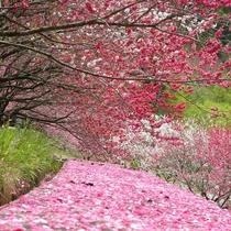 「はなもも街道」には1万本の花桃が!