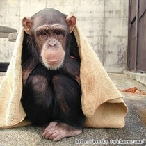◇茶臼山動物園 チンパンジーのアサコ