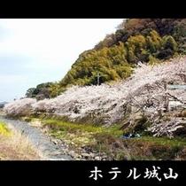 千歳川の桜並木【4月上旬~】 《車で約5分》