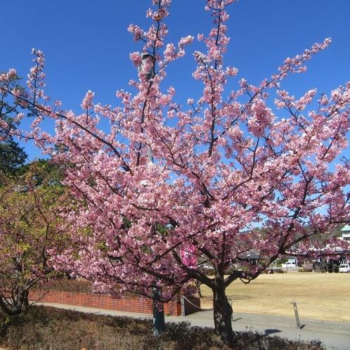松原公園の土肥桜
