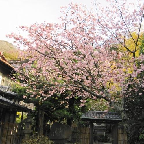玄関前の土肥桜