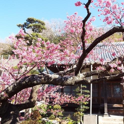 当館近くの萬福寺に咲く土肥桜