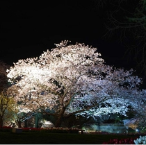 はままつフラワーパークの夜桜。ライトアップされたソメイヨシノ。