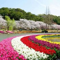 1500本の桜と50万のチューリップの競演は圧巻!はままフラワーパーク