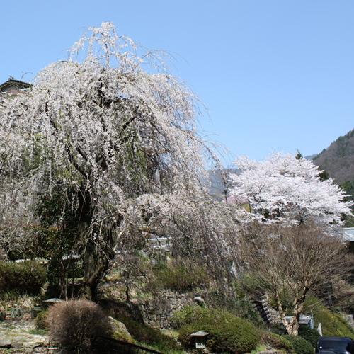 敷地内の桜