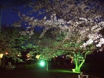 西浦園地 夜桜