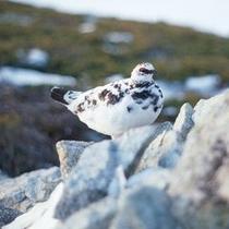 【立山黒部アルペンルート】雷鳥 運が良ければ会えます。特別天然記念物です。(4月中旬~11月末)