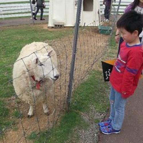 ≪牧場≫新川育成牧場の羊。牛だけではなく羊もいますよ。