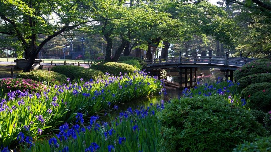 兼六園(かきつばた)(写真提供:金沢市)5月下旬が見ごろです。