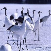 特別天然記念物の丹頂鶴は11月〜3月が見ごろです
