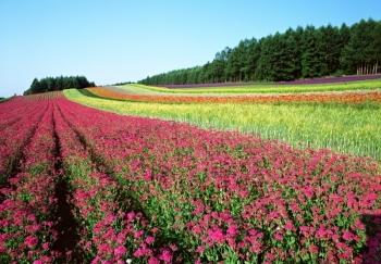 近郊の花畑
