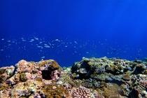 伊良部島の海中サンゴ