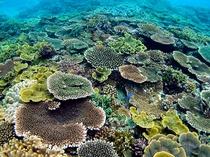 プライベートビーチの珊瑚