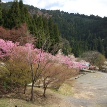 【翠峰荘の四季:春】桜が春の訪れを教えてくれます
