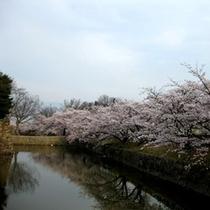 松本城の桜(4月)