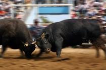 激突する闘牛