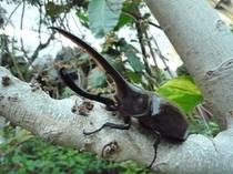 【昆虫生態館】へラクレス