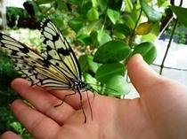 【昆虫生態館】オオゴマダラ