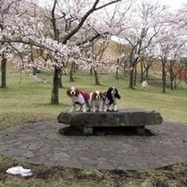春はさくらまつりも開催されます。ワンちゃんと目いっぱいお楽しみ下さい♪(さくらの里)