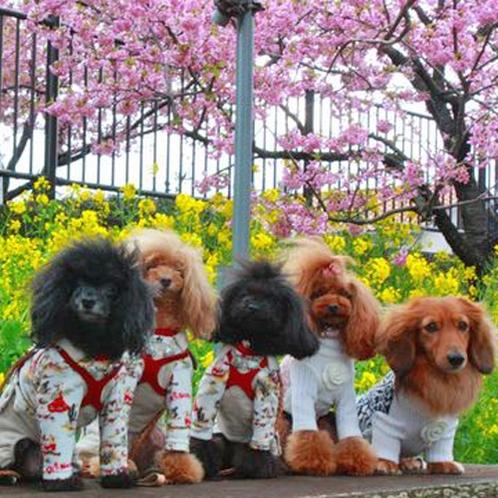 【ワンちゃん達】ピンクの河津桜と黄色い菜の花♪
