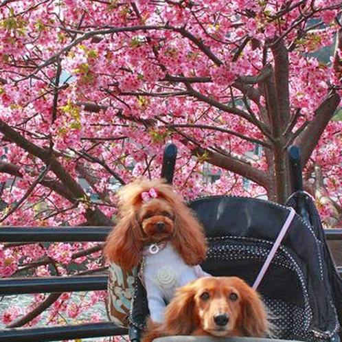 【ワンちゃん達】河津桜と「はい、チーズ♪」