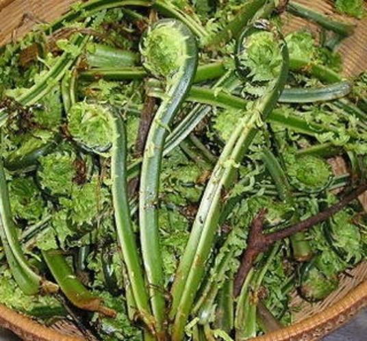 山菜-こごみ