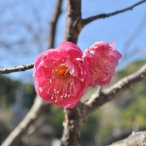 梅の花 熱海梅園梅祭りは1月中旬~3月上旬まで開催