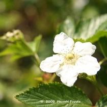 キイチゴの花