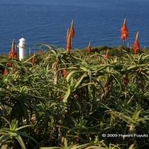 大越鼻灯台とアロエの花